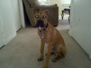 Dog boxer mix rental Cedar Rapids-Waterloo-Iowa City, IA
